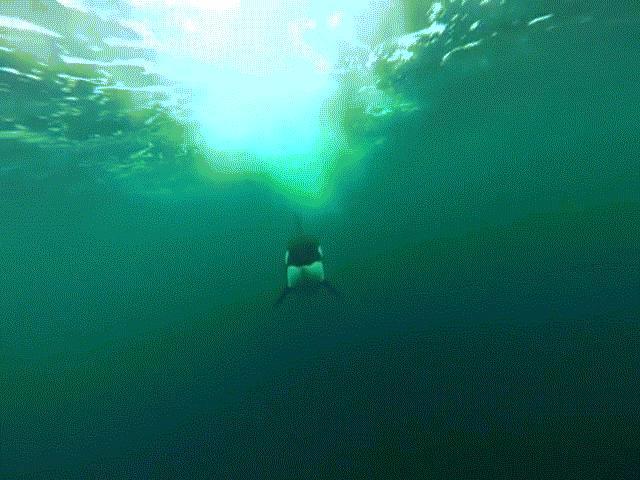 Video cá voi sát thủ đuổi theo thuyền nhanh như tên bắn