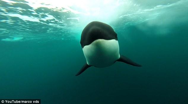 Video cá voi sát thủ đuổi theo thuyền nhanh như tên bắn - 1
