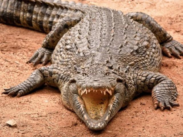 Con cá sấu giết, ăn thịt 300 người, khiếp sợ nhất thế giới