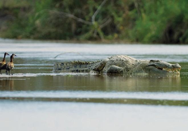 Con cá sấu giết, ăn thịt 300 người, khiếp sợ nhất thế giới - 2