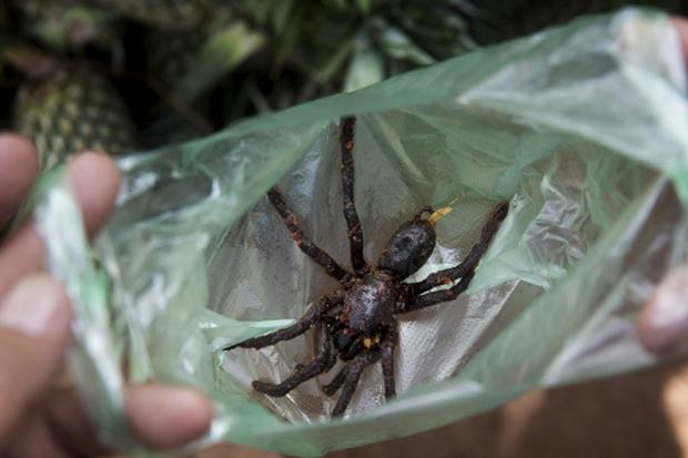 Ngôi làng chuyên ăn thịt nhện ở Campuchia - 1