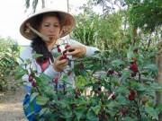Thị trường - Tiêu dùng - Chỉ trồng chơi chơi 1/4 công cây bụp giấm mà có 100 triệu đồng