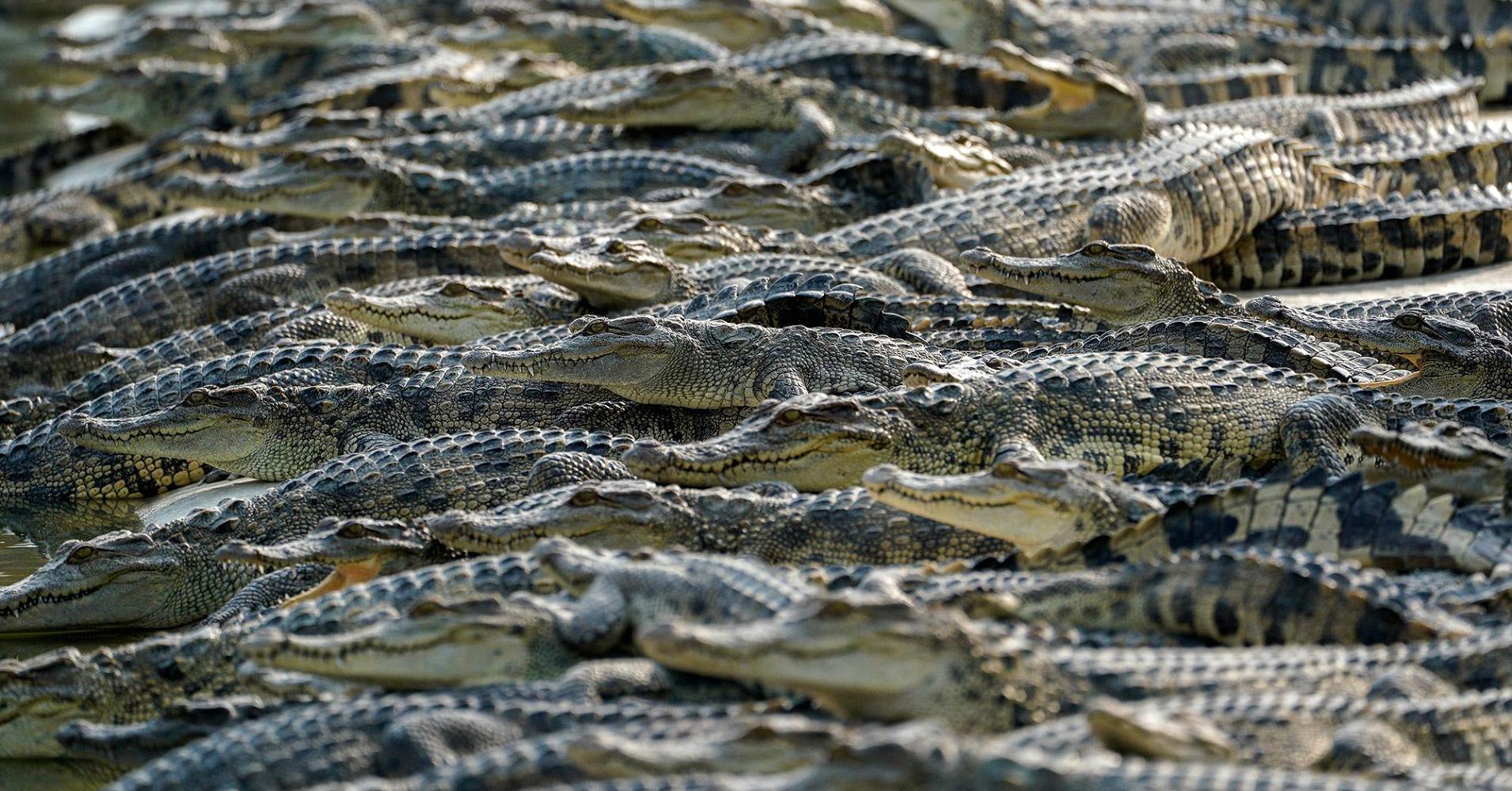 Cảnh nhung nhúc trong trang trại cá sấu lớn nhất Thái Lan - 1
