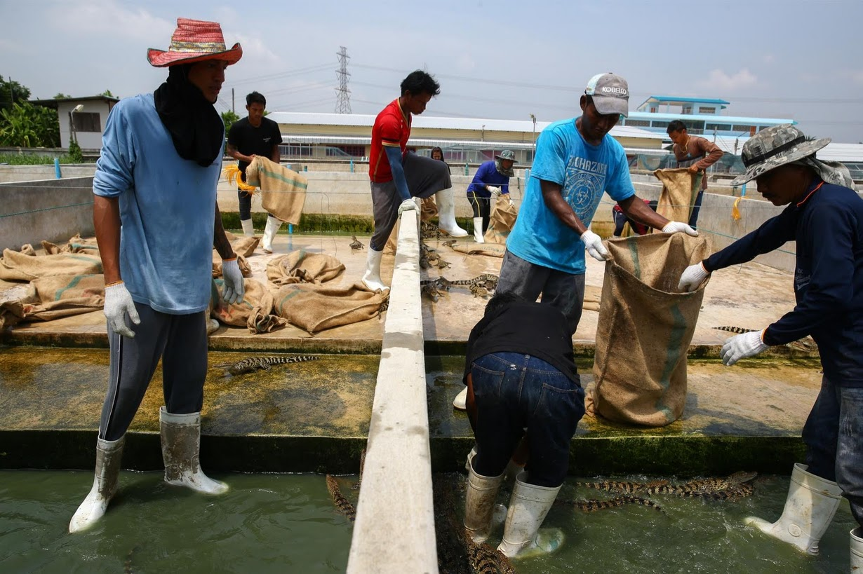 Cảnh nhung nhúc trong trang trại cá sấu lớn nhất Thái Lan - 7