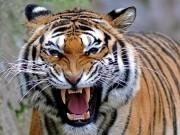 """Thế giới - Con hổ """"quỷ dữ"""" giết 430 người, khủng khiếp nhất châu Á"""