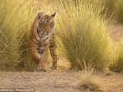 Thế giới - Đem người già cho hổ vồ chết để lấy tiền ở Ấn Độ?