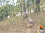 Thế giới - Video: Báo đốm giết bê, bị bò mẹ đuổi chạy tít lên cây
