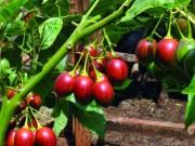 Thị trường - Tiêu dùng - Sửng sốt cây ra quả chi chít ở thân: Lạ mà quen, quen mà lạ