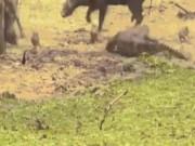 Thế giới - Thấy cá sấu đớp con, lợn rừng bố mẹ tung đòn mãnh liệt