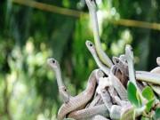 Rùng mình hàng trăm con rắn lúc nhúc trên cây ở trại mãng xà lớn nhất VN