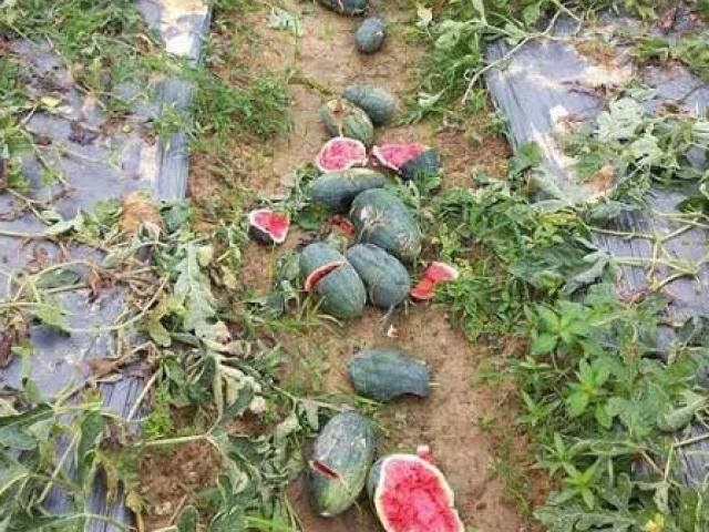 Ăn no tại ruộng, kẻ gian còn đập nát hàng trăm quả dưa hấu