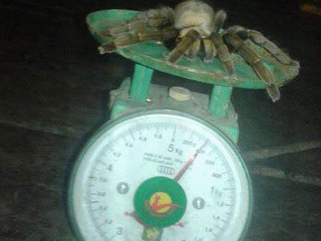 """Bắt được nhện """"quái vật"""" dài 20cm ở Hòa Bình"""