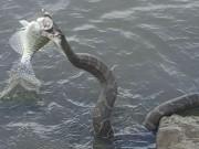 Phi thường - kỳ quặc - Rắn khổng lồ nhảy lên cướp cá của ngư dân Mỹ