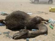Ả Rập Saudi trừng phạt, ngàn lạc đà Qatar chết đói, khát