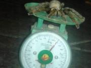 """Bắt được nhện  """" quái vật """"  dài 20cm ở Hòa Bình"""