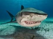 Phi thường - kỳ quặc - Mỹ: Cả gan tóm đuôi cá mập hổ và cái kết máu me
