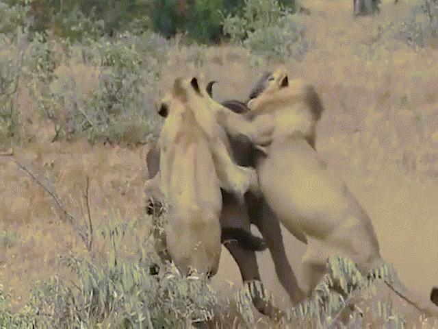 Sư tử sắp chén mồi ngon, không ngờ bị trâu rừng đánh đuổi
