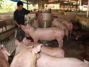 Thị trường - Tiêu dùng - Lợn hơi bất ngờ tăng giá mạnh, Cục Chăn nuôi nói gì?