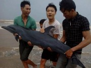 Trước bão, người dân giải cứu cá heo mắc cạn