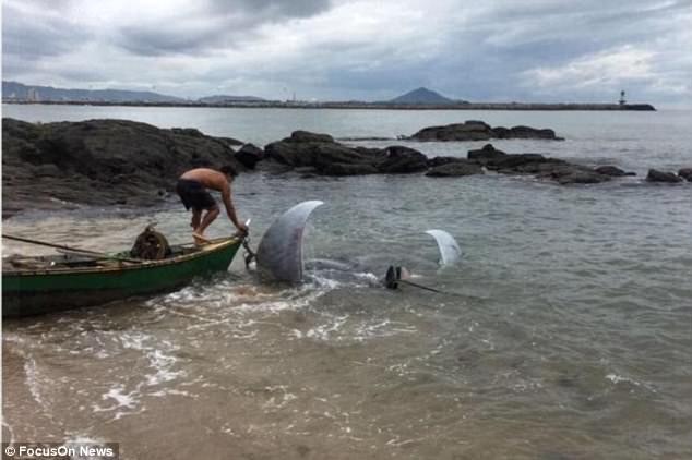 Brazil: Cá đuối nặng 1 tấn to như xe hơi mắc lưới ngư dân - ảnh 1