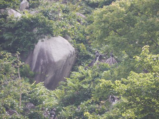 Phát hiện quần thể voọc quý hiếm trên núi Chứa Chan - 3