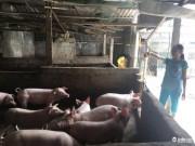 """Thị trường - Tiêu dùng - Hà Tĩnh: Nông dân """"đau đầu"""" vì giá lợn tăng nhanh"""