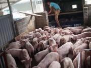 """Thị trường - Tiêu dùng - Giá lợn ngừng tăng vọt, hộ chăn nuôi đừng """"mộng mơ"""""""