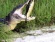 Bị cá sấu khổng lồ nhai, rùa nằm im vẫn  thắng