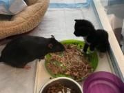 Chuột khổng lồ chuyên chăm sóc mèo ở Mỹ