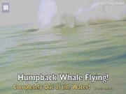 Chưa từng thấy: Cá voi 40 tấn bay hoàn toàn khỏi mặt nước