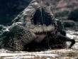 """Sự tàn bạo của  """" quái vật """"  khổng lồ vua đầm lầy Amazon"""