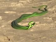 """Phi thường - kỳ quặc - Cặp rắn xanh kỳ quái cực độc quyết chiến giành """"mỹ nhân"""""""