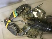 Mỹ: Bắt được tôm hùm xanh biển cực hiếm, tỉ lệ 1/3 triệu