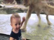 """Bé trai  9 tháng  """" đối mặt """"  sư tử vẫn cười hồn nhiên"""