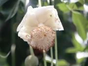 Tin tức trong ngày - Sắc trắng trên cây bao báp lâu đời nhất Sài Gòn vào mùa nở hoa