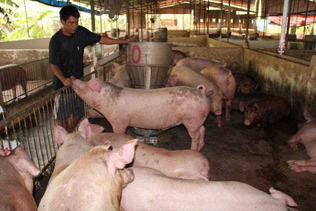 Vì sao giá lợn hơi tăng nóng rồi lao dốc? - 1