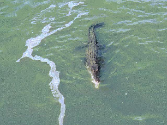 """Cá sấu quỷ quyệt, rình thời cơ """"vàng"""" ăn thịt cá mập"""