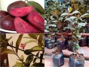 Thị trường - Tiêu dùng - Phát sốt vì giống ổi sim ruột tím, có hoa nở giá 1,2 triệu đ/cây