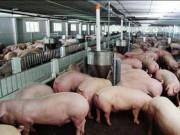Thị trường - Tiêu dùng - Giá thịt lợn tại Trung Quốc tiếp tục giảm, Bộ NN cảnh báo người chăn nuôi