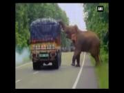 Phi thường - kỳ quặc - Voi khổng lồ chặn xe tải rồi làm điều gây bất ngờ