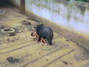 Thái Lan: Đói ăn, gấu khổng lồ kéo người vào chuồng cắn xé