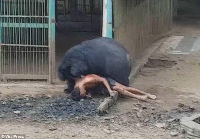 """Sốc với lí do hổ dữ """"hiền như cún"""" ở chùa Thái Lan - 1"""
