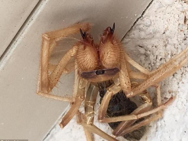 Tá hỏa phát hiện nhện khổng lồ lai bọ cạp