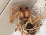 Phi thường - kỳ quặc - Tá hỏa phát hiện nhện khổng lồ lai bọ cạp