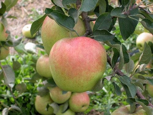 """Mê mẩn loại táo Mỹ lạ """"xanh vỏ - hồng lòng"""" siêu dễ thương - 10"""