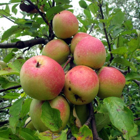 """Mê mẩn loại táo Mỹ lạ """"xanh vỏ - hồng lòng"""" siêu dễ thương - 11"""