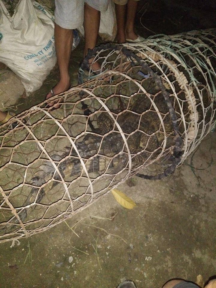 """HN: Người dân bắt được cá sấu  """"khủng"""" trên sông Tích - 3"""
