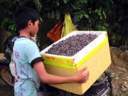 Thị trường - Tiêu dùng - Đổ xô lên rừng hái sim, đút túi 700.000 đồng/ngày