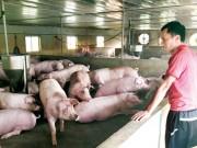 Thị trường - Tiêu dùng - Ai khiến giá lợn hơi đảo điên?