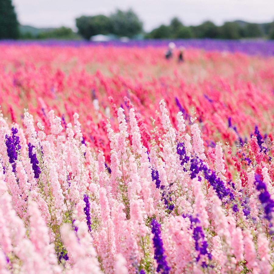 Ngỡ ngàng vẻ đẹp thiên đường hoa mùa hè chỉ mở cửa 7 ngày mỗi năm - ảnh 9